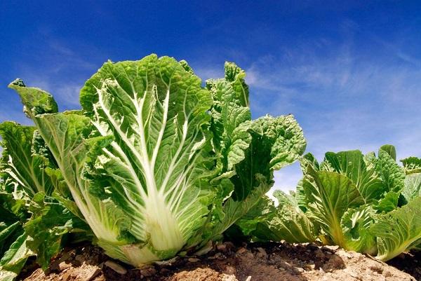 Полезные свойства и вред пекинской капусты